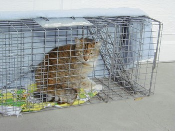 Feral_cat,_sterilized_through_a_Trap-Neuter-Return_program