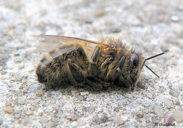 abeille morte