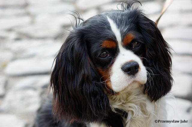 Chien de race cavalier king Charles