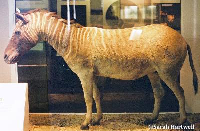 domestication cheval Quagga-