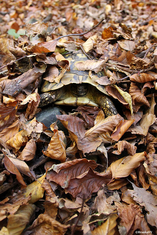 hibernation-tortue-hermann